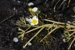Brackish Water Crowfoot (Ranunculus peltatus ssp. baudotii)